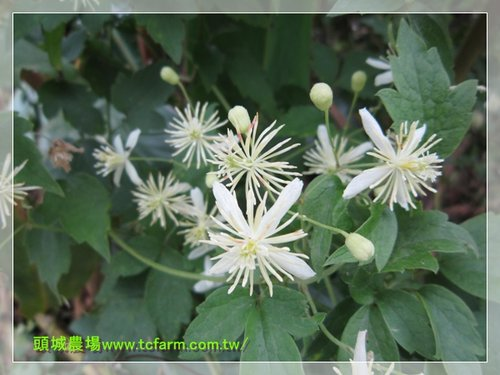 Toucheng leisure farm clematis grata or gourian clematis this white lovely flower is an endemic flower to taiwan mightylinksfo