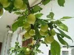 Δαμασκηνιά Ασβεστοχωρίου<br>(με τους πρασινοκίτρινους καρπούς)