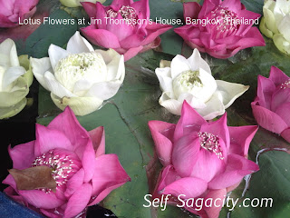 pink and white lotus flowers in a pot