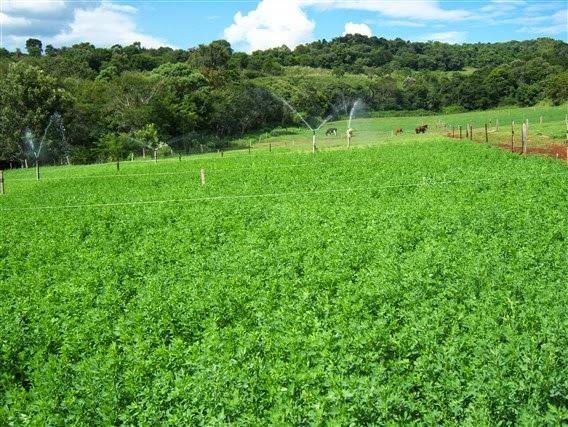 Cultivo de alfafa, na foto vemos cultivo irrigado