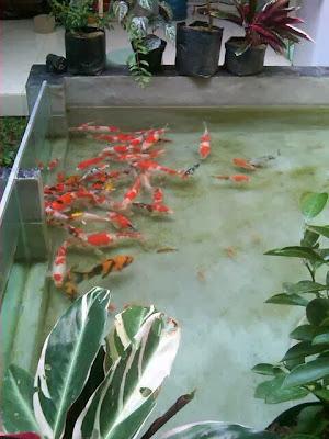 Tempat Jual Beli Ikan KOI