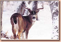 Bowhunting-Trophy-Blacktail