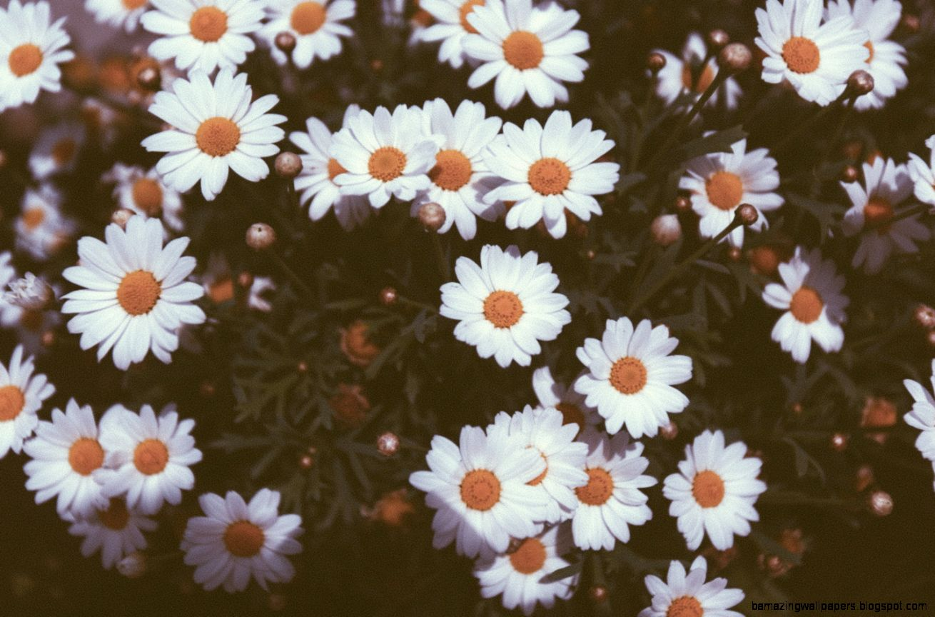 View Original Size Vintage Daisies Photography HD Desktop Wallpaper High Definition
