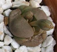 planta piedra