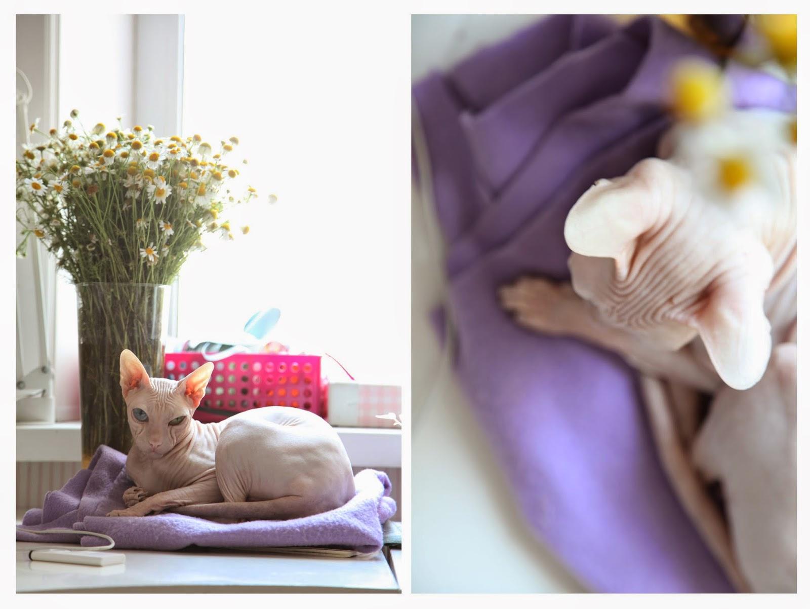 лысая кошка, лысая кошка порода