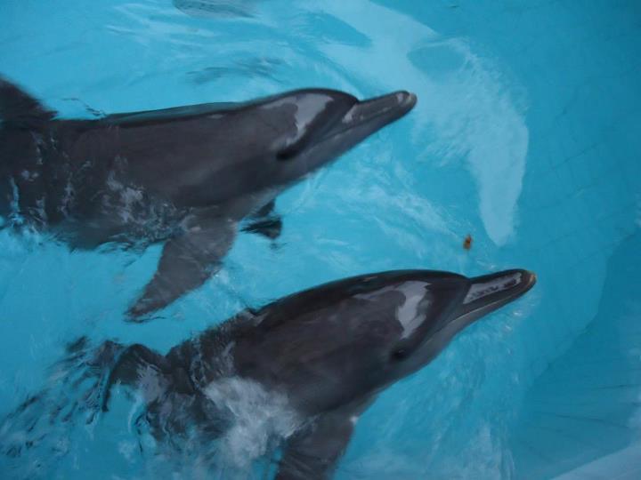 lumba lumba hidung botol tursiops truncatus adalah spesies lumba lumba