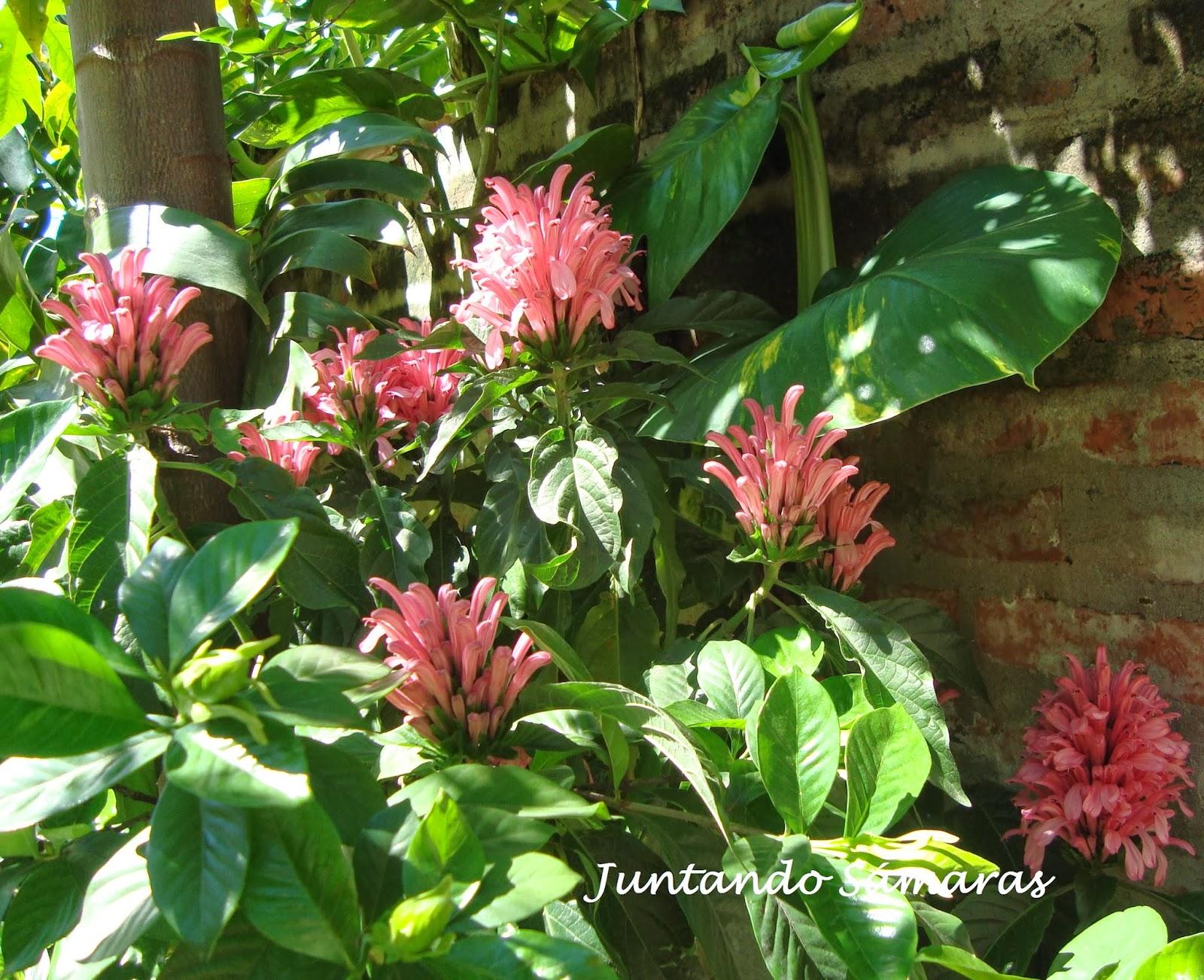 Juntando s maras jacobinia for Plantas perennes exterior