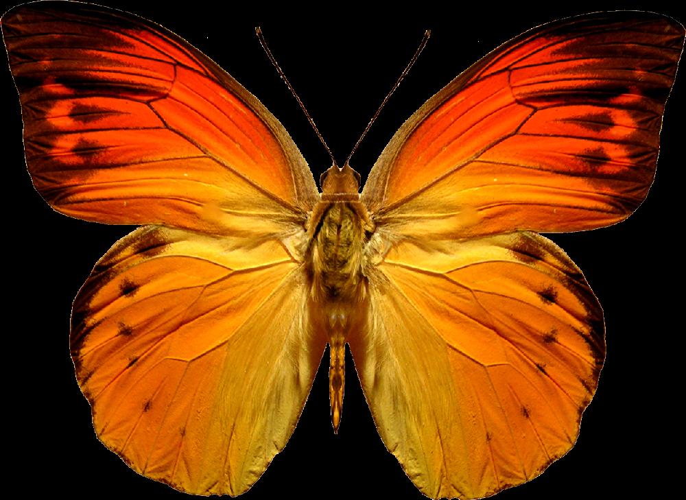 Editando Photoshop: Borboletas e mariposas PNG