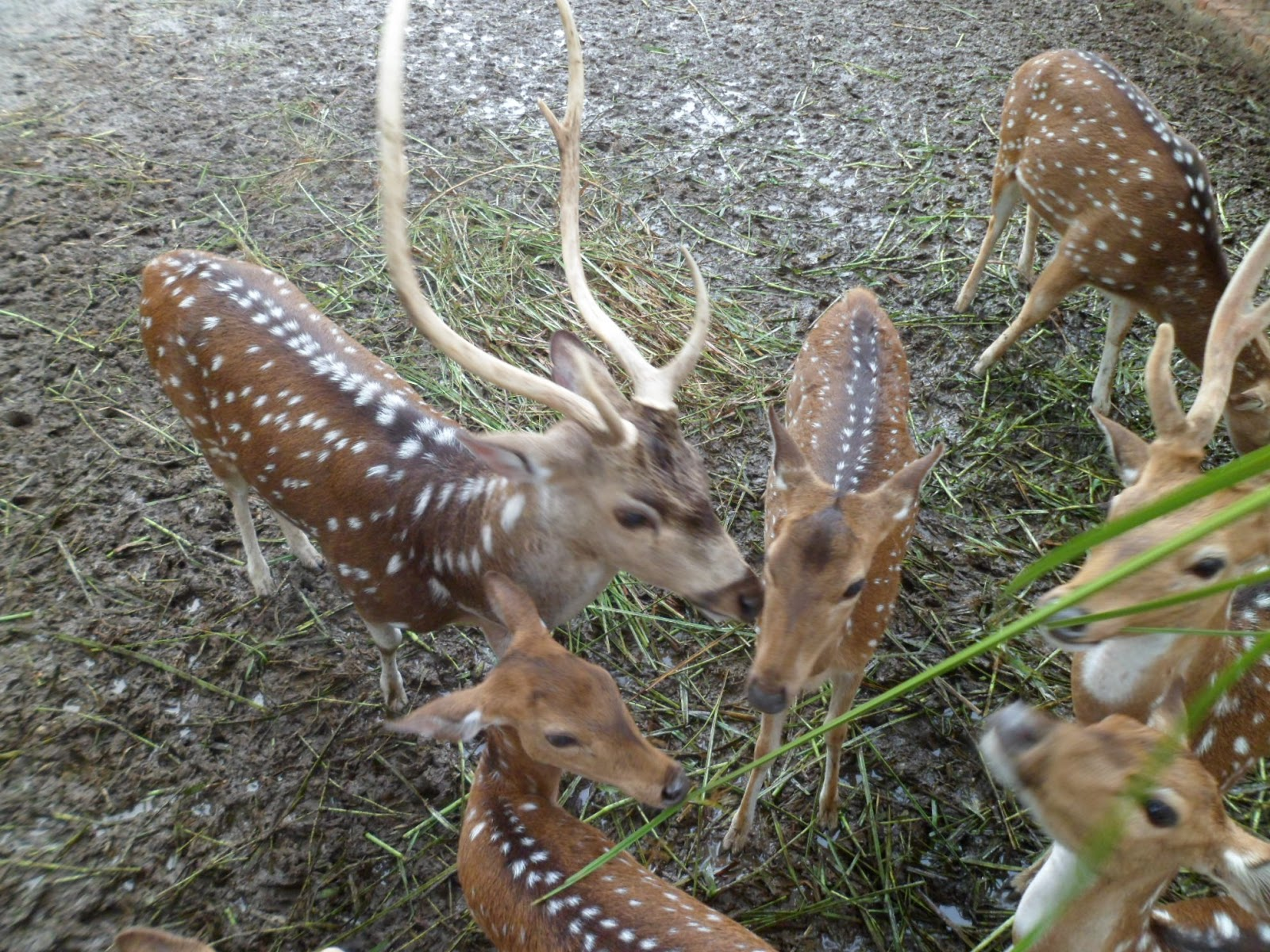 deer, deer farming, deer farm, deer picture, deer breeds