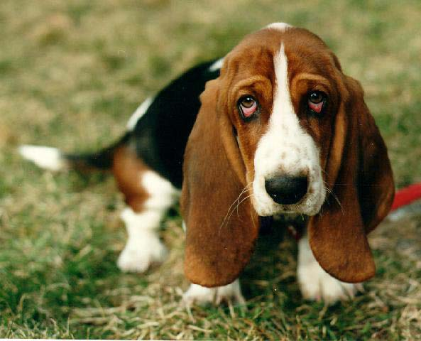 Basset Hound Pet Dog