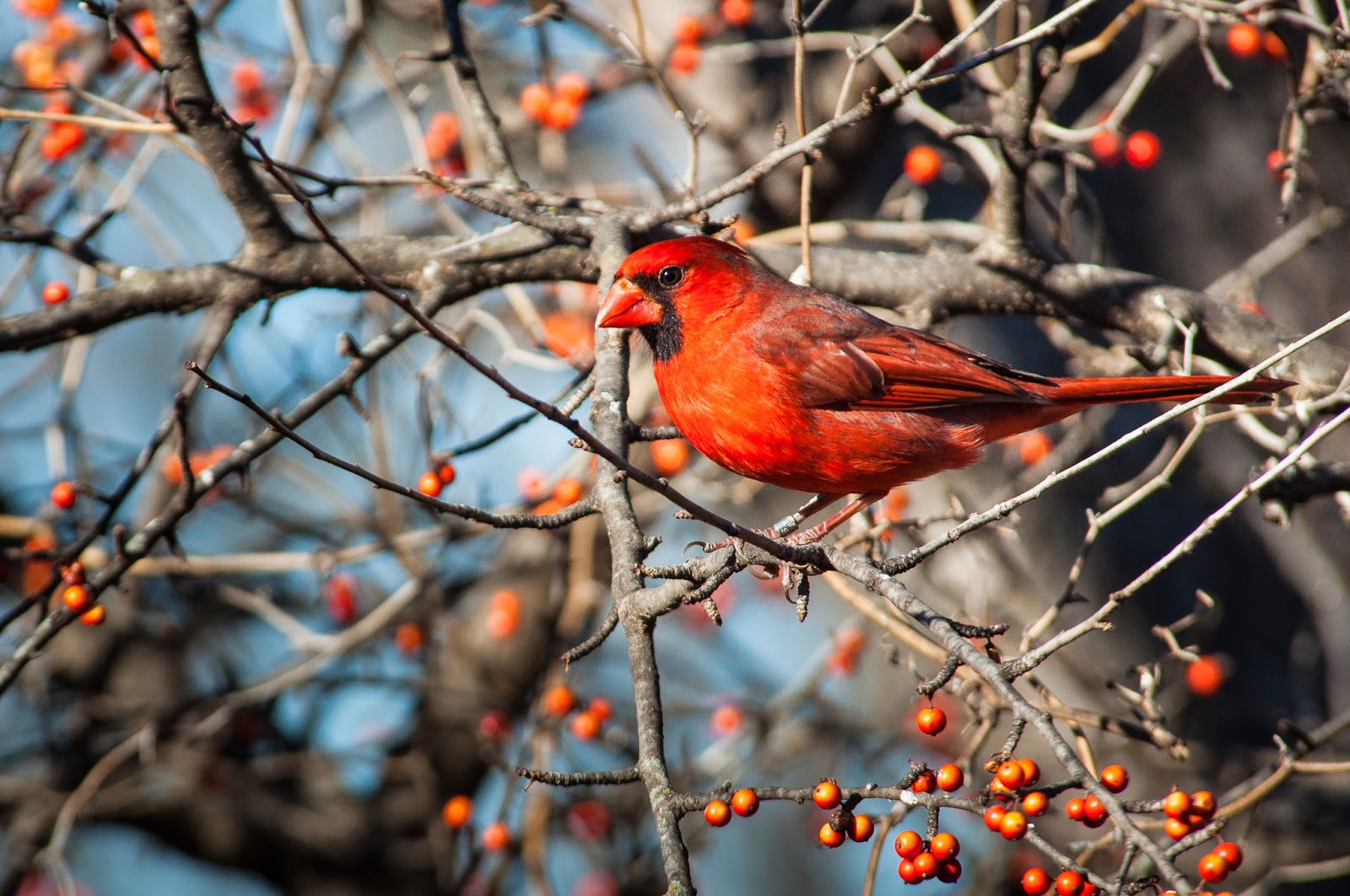Northern Cardinal, The Heard