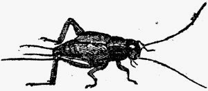 Cricket drawing. Image is in the Public Domain.