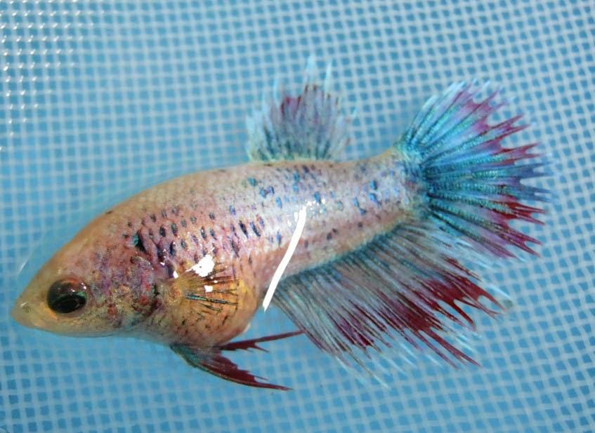 Female crowntail betta fish