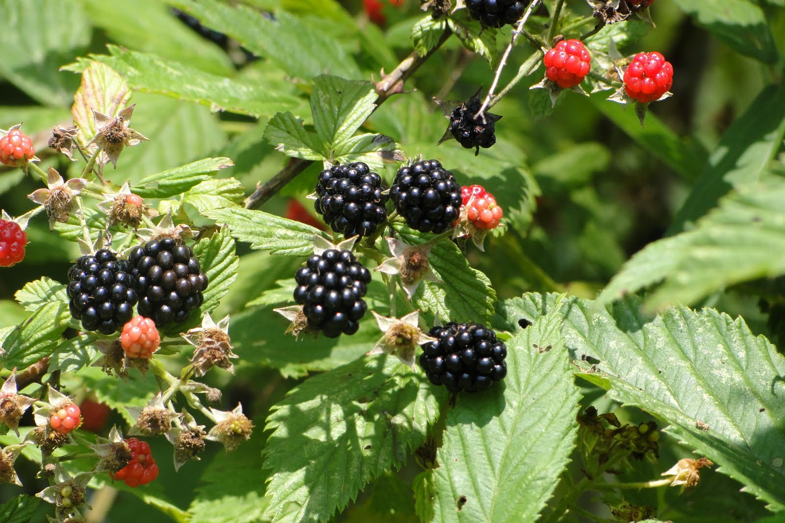 Wild Blackberry Leaves Louisiana Restaurant A...