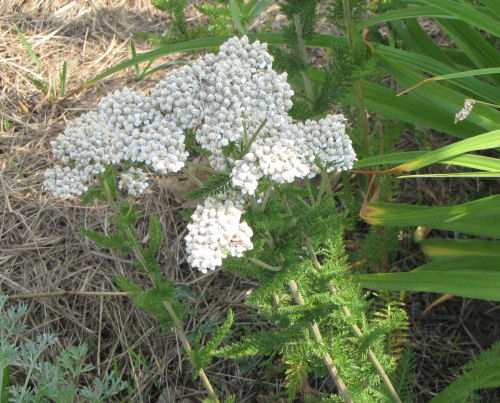 wild yarrow