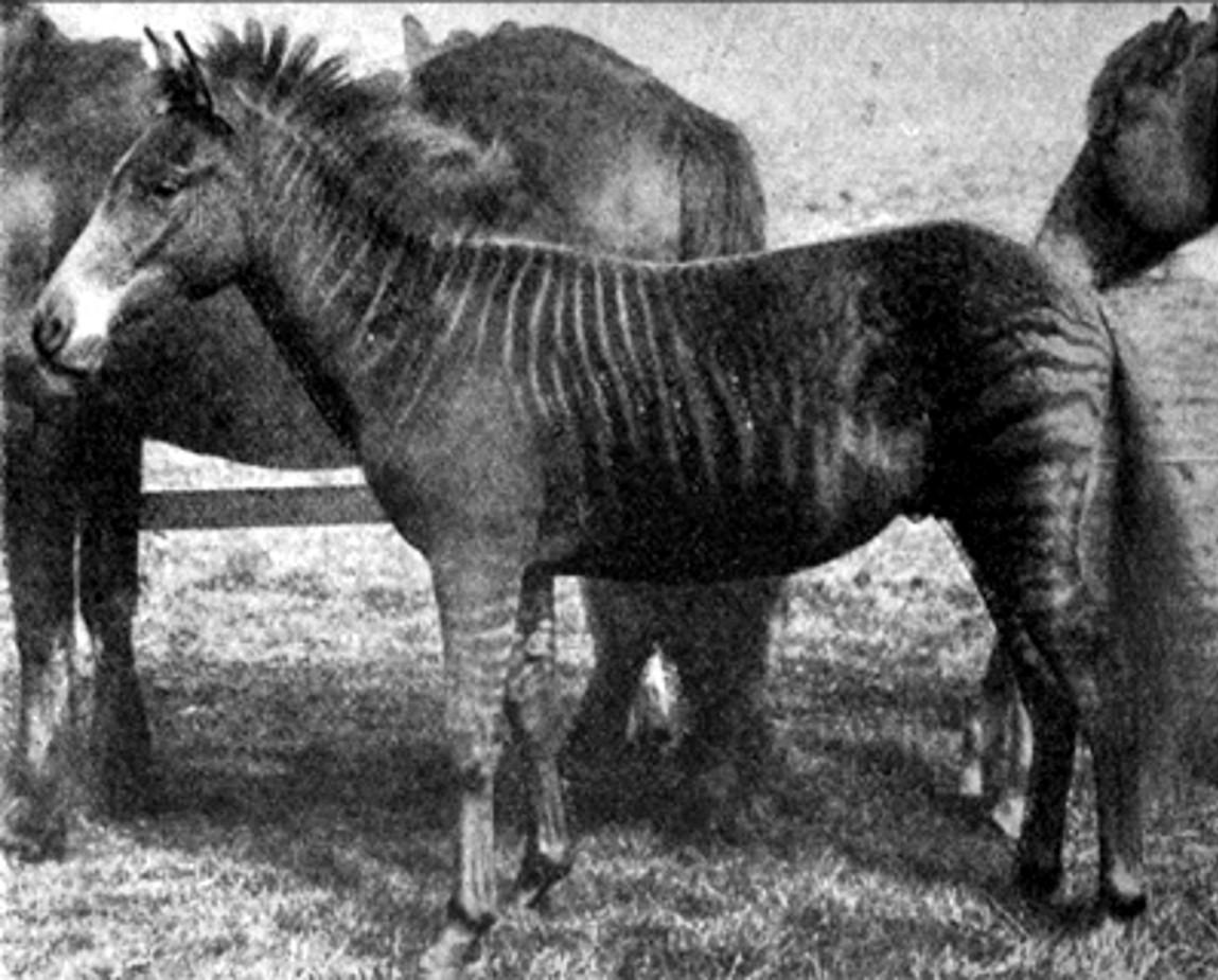 ShukerNature: ZEBRA CROSSINGS - THE DAY I MET A ZORSE, A ...