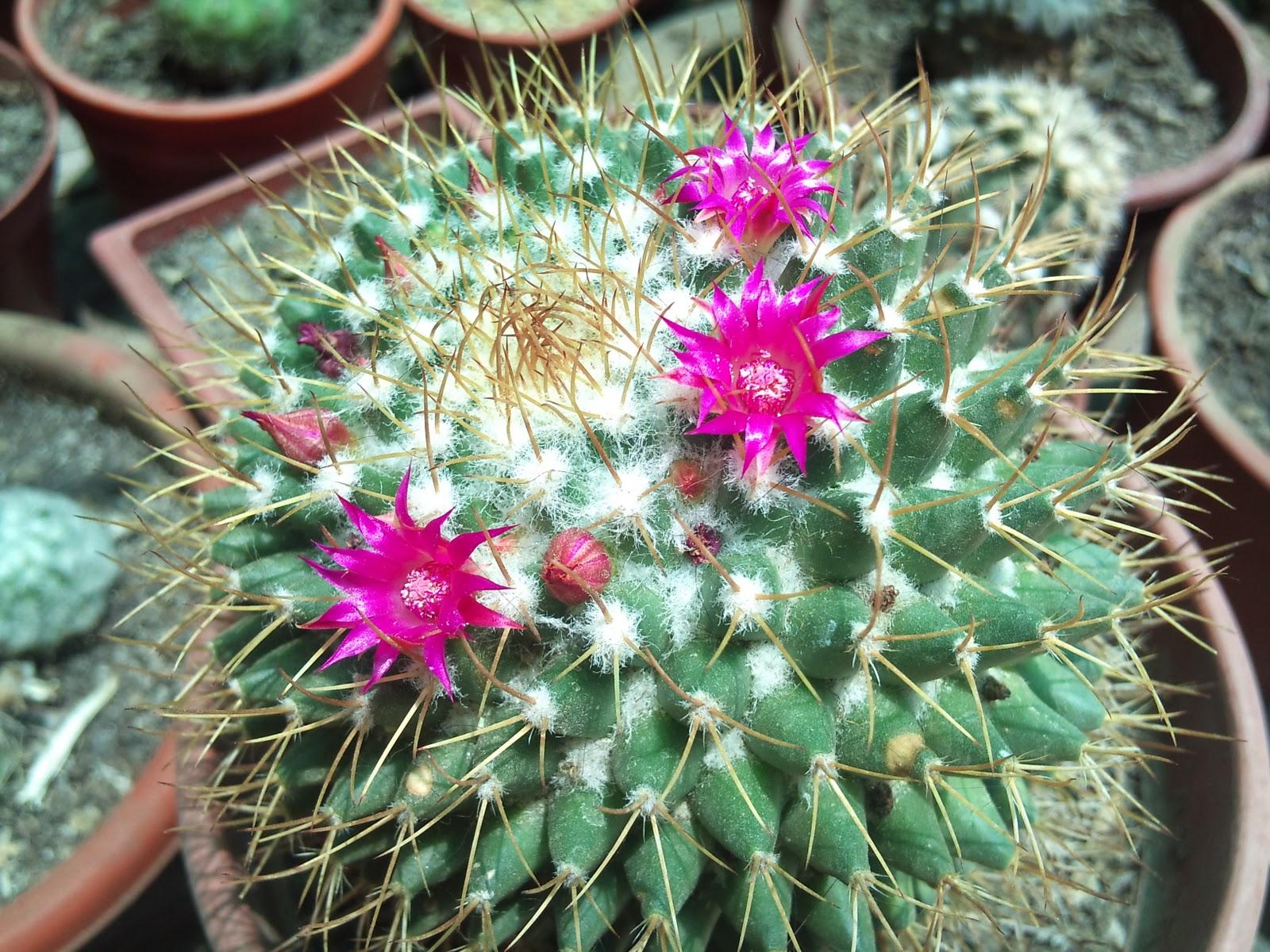 Marycactus variedades de mammillarias for Cactus variedades fotos