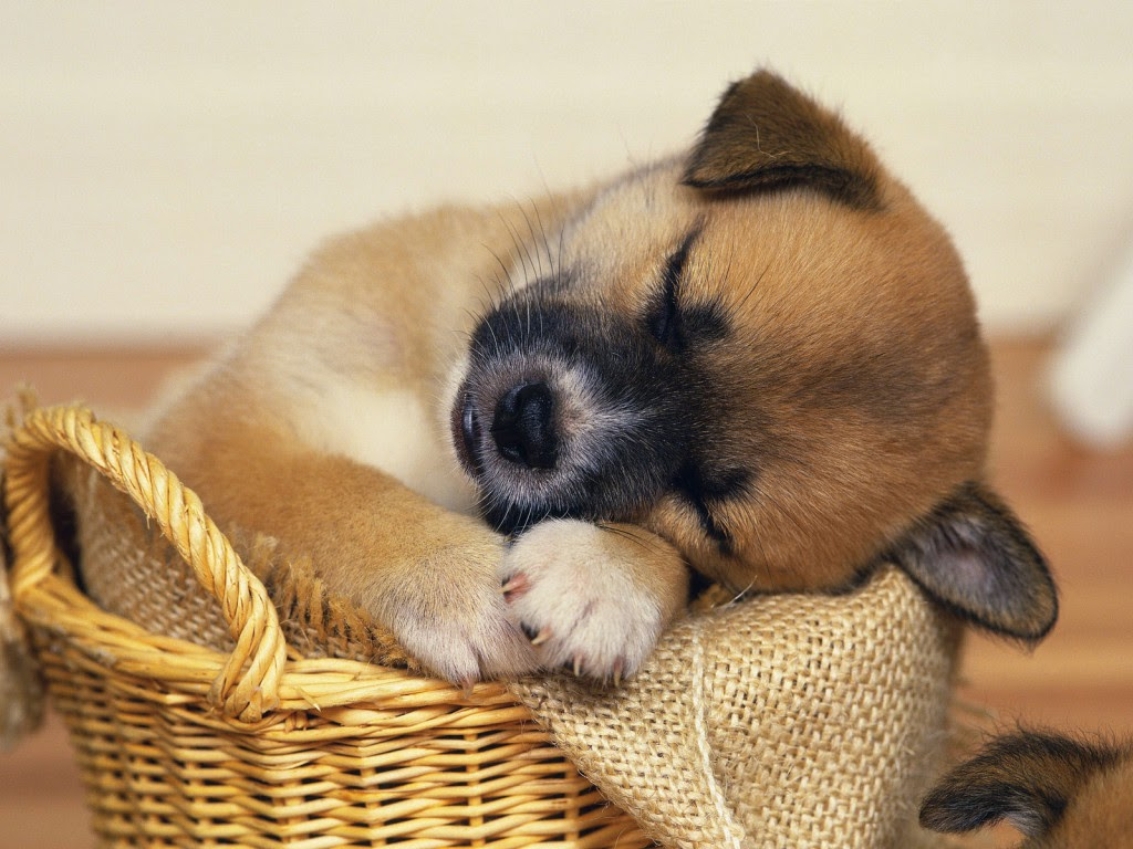 Cute-Puppy-Dog-Animal-Wallpapers-HD-Wallpaper