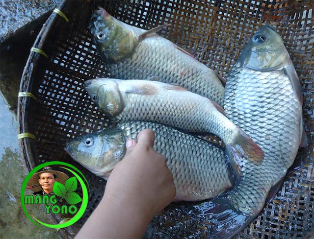 Cara membuat umpan jitu untuk mancing ikan Mas dengan tepung beras