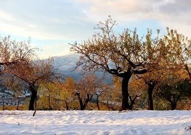 Ametlers nevats. Al fons La Serra de Mariola.