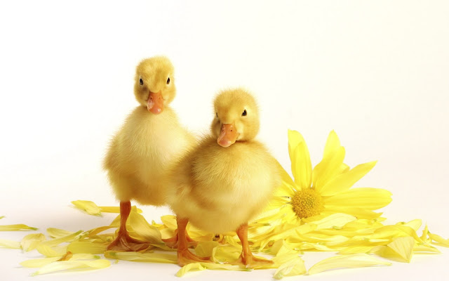 Best Jungle Life ducklings, chrysanthemum, free desktop wallpaper