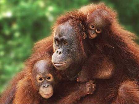 gambar orang hutan