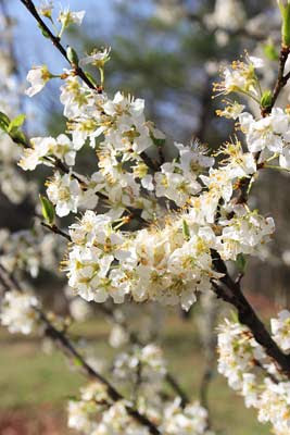 Jim longs garden edible spring flowers edible spring flowers mightylinksfo