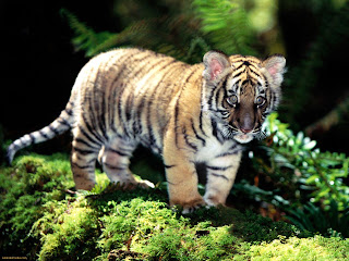 Very Sweet and Cute Animals  Funny cloud tiger wallpaper