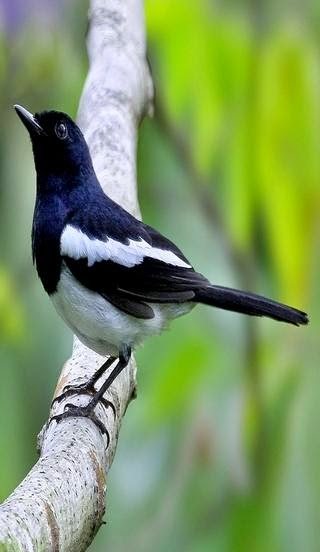 Foto Burung Kapasan Terbaik