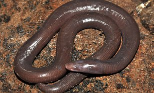 amfibia gergasi legless didapati di Kemboja spesies baru boleh mencapai1 5m panjang dan BUKAN ular