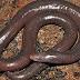 amfibia gergasi legless didapati di Kemboja: spesies baru boleh mencapai1.5m panjang dan BUKAN ular