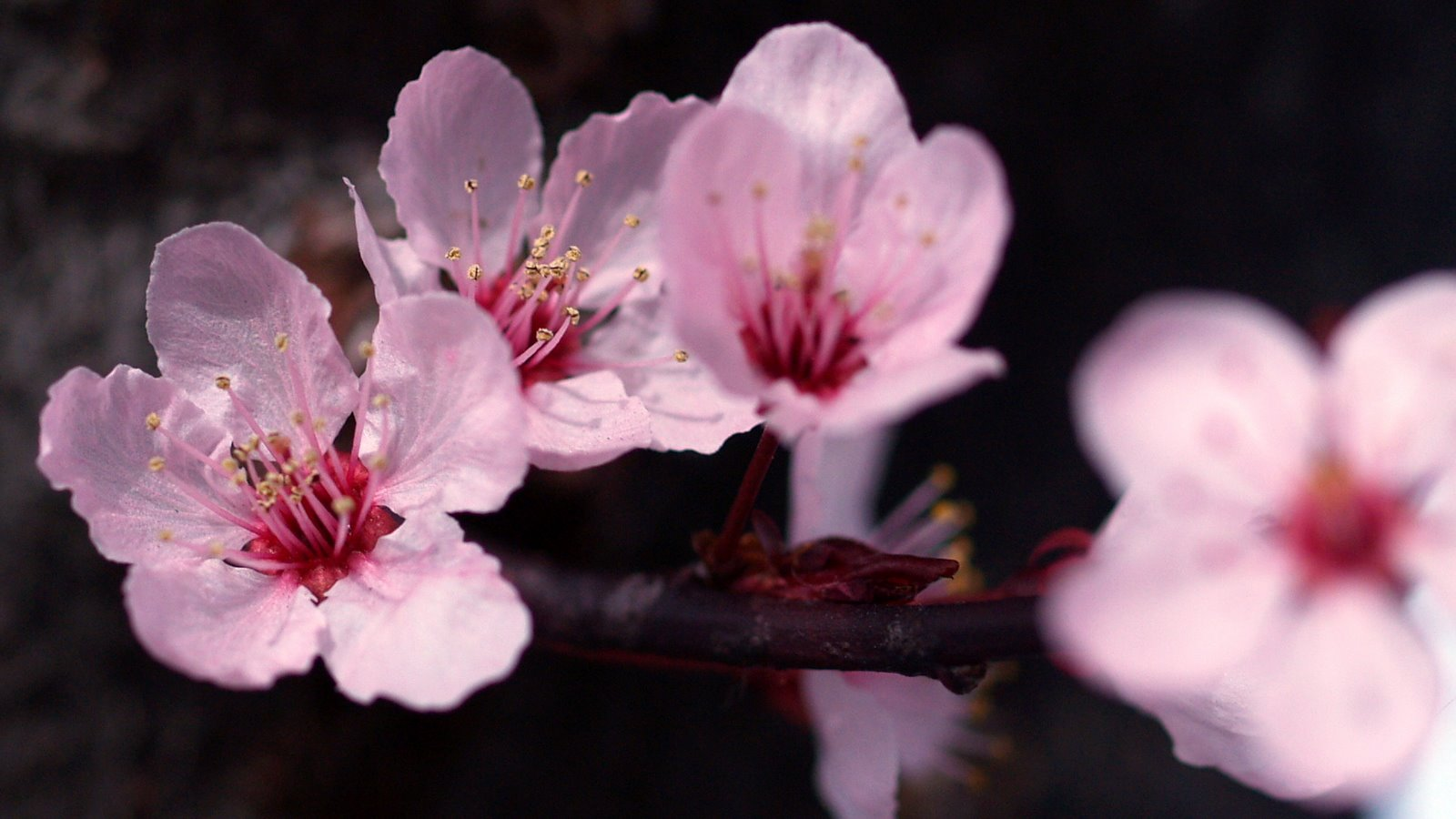 Beautiful pink flowers 1600 x 900 hd