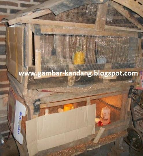 kreasi kandang doc ayam kampung dari bahan kayu papan