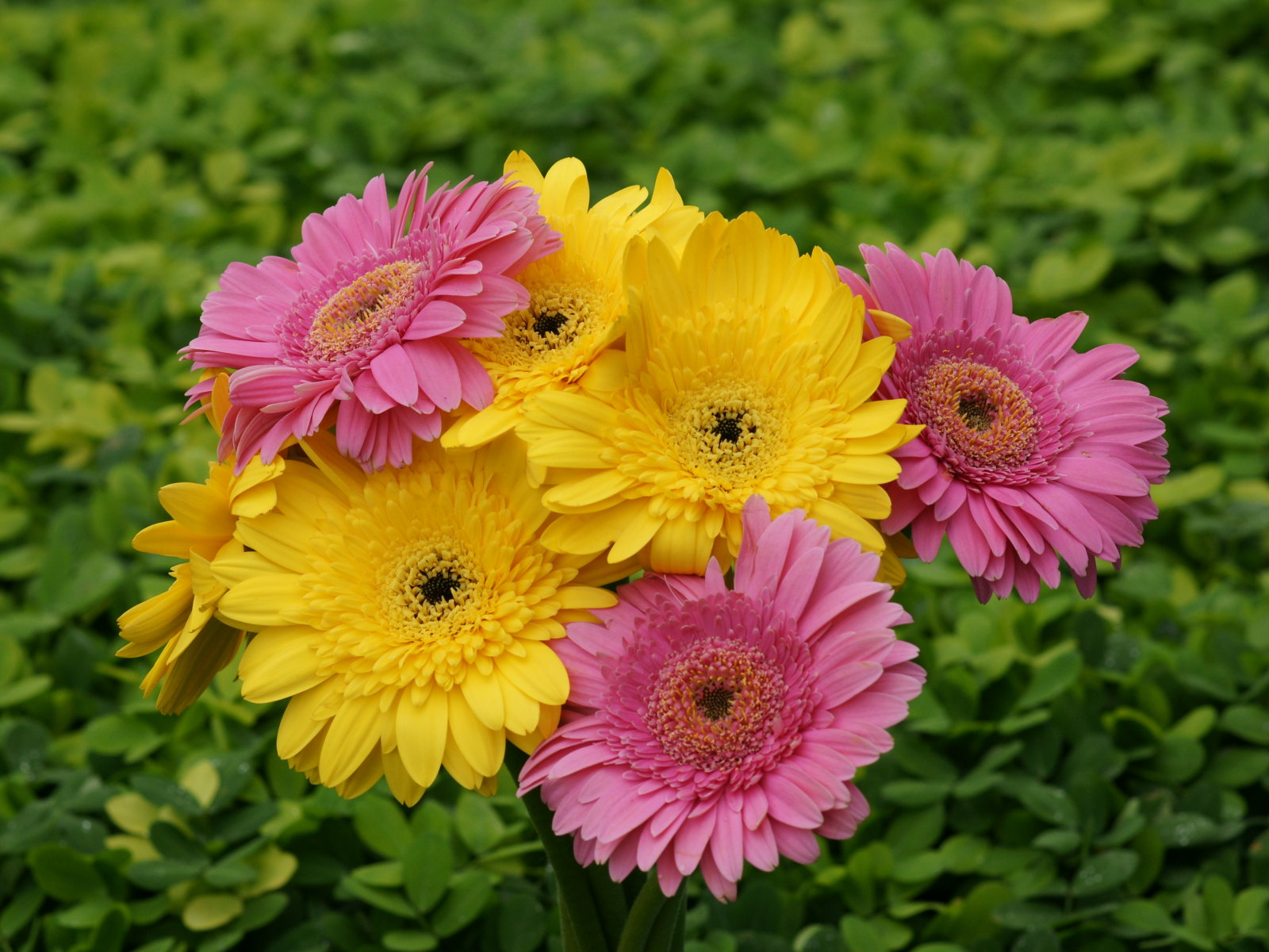 Gerbera Flower Flowers World