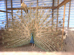 PURPLE PEAFOWL