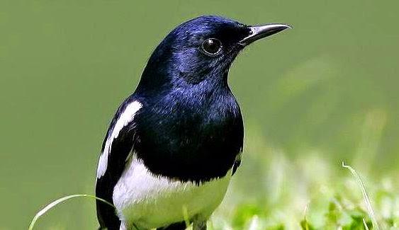 koleksi suara kacer untuk memaster   suara burung