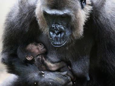 生後6ヶ月のMjukuuと母親のMbeli. シドニー,タロンガ動物園