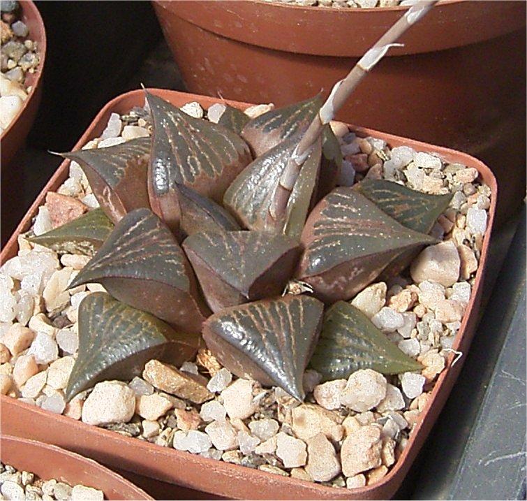 Haworthia badia x splendens Ref 13011204
