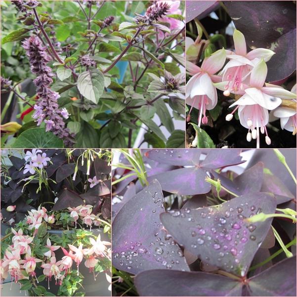 Der juli sieht violett balkonrosen for Halbschattige balkonpflanzen