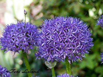 Giant Purple Allium Flower by Toni Leland
