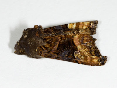 Small Angle Shades Euplexia lucipara