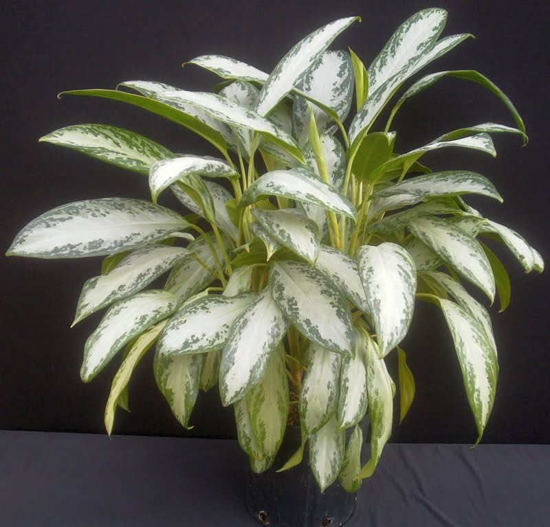 Plants are the Strangest People List Houseplants Native to China