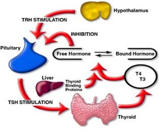 Generalidades y Laboratorio en tiroides
