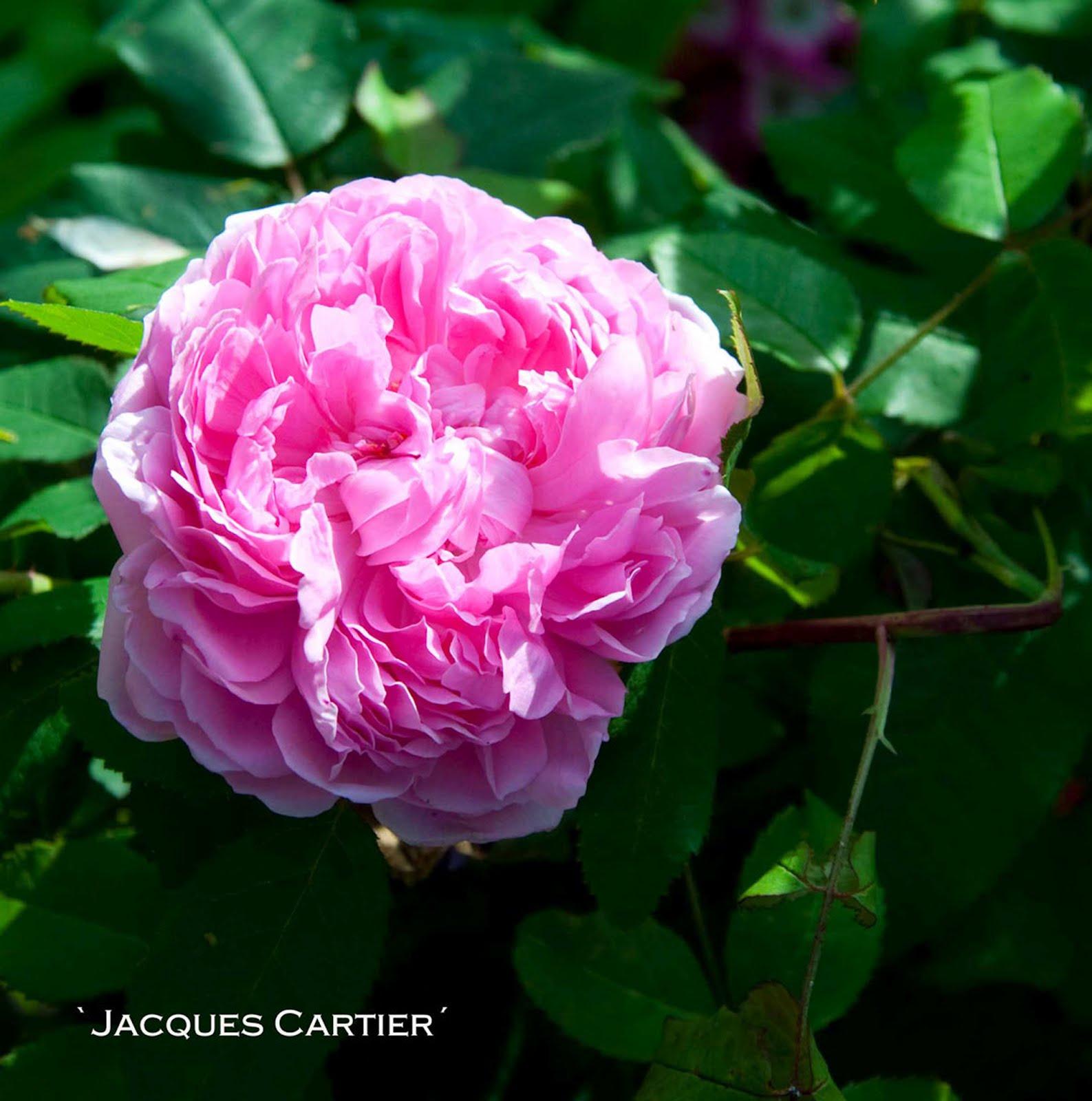 olika blommors betydelse