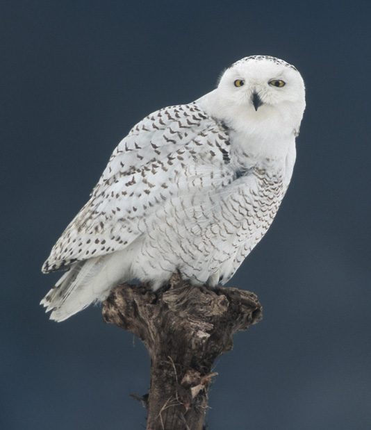Information of the world snowy owl for Do owls eat fish
