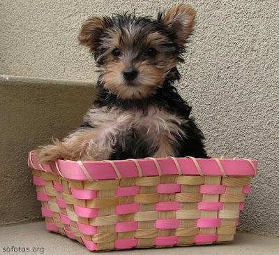 Filhotes de Yorkshire terrier