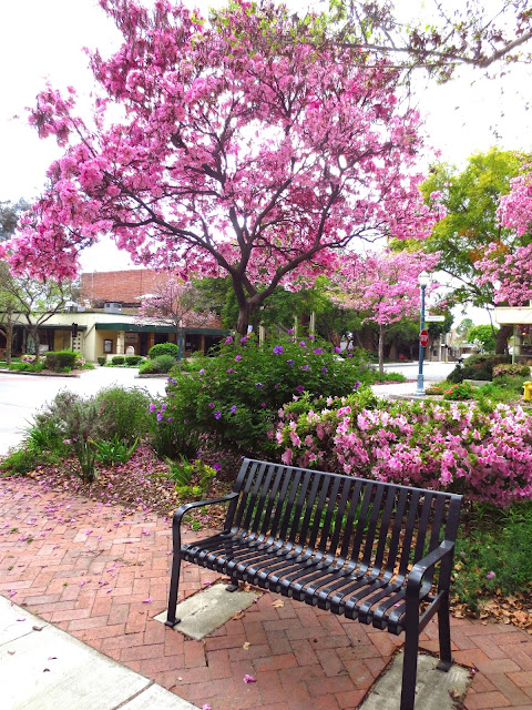 empress tree pink blossoms bloom flower flowers flowering plant garden azalea bush shrub park bench small town square