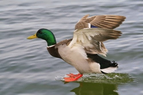 معلومات عن البط البري بالصور 6756-1-or-1397309896[1].jpg