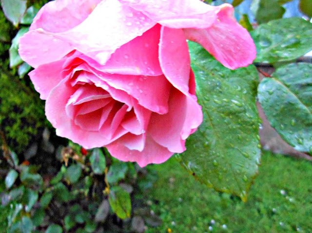 Pretty Rose In The Rain Free Printable