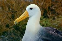 Albatross Espanola Suarez Point Galapagos